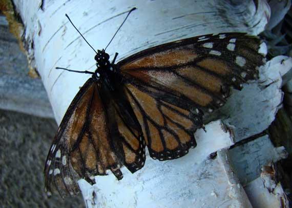 butterfly_half_drowned.jpg