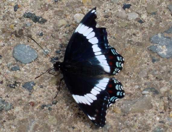 butterfly_blueblack
