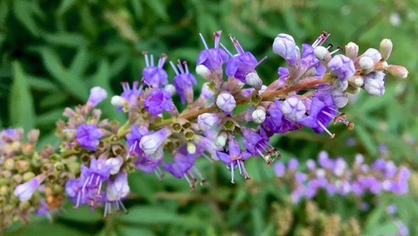 Butterfly bush flower spike
