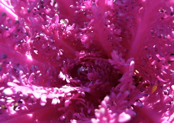 cabbage_lacy_purple_winter.jpg