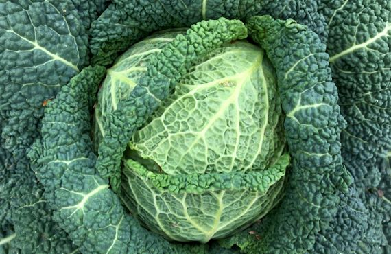 Cabbage of spring