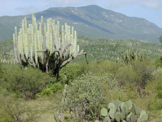 Cacti mountains Mexico