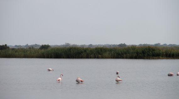 Camargue flamingoes wading overcast