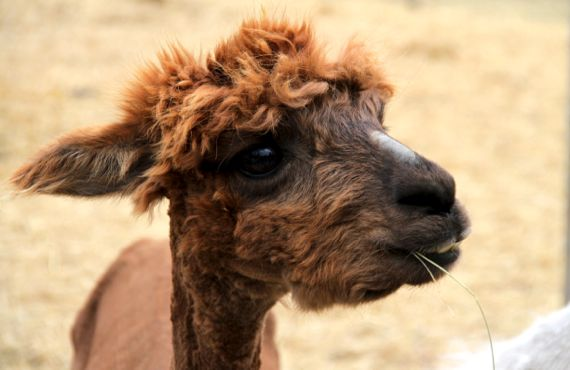 Camelid straw