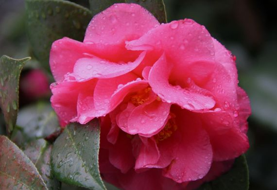 Camellia after rain superpink 2011