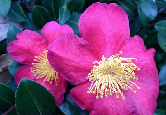 Camellia autumn bright pink duo