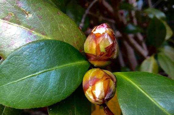 Camellia buds browned