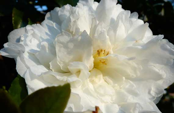 camellia_early_white.jpg