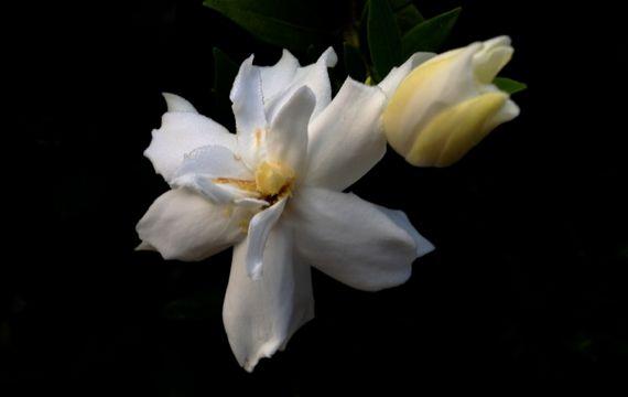 Camellia fleur n bud contrasty
