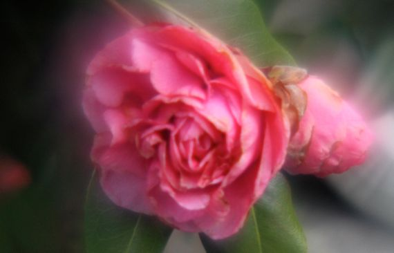 Camellia in spite of