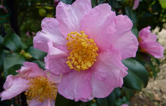 camellia_of_the_fall_2010.jpg