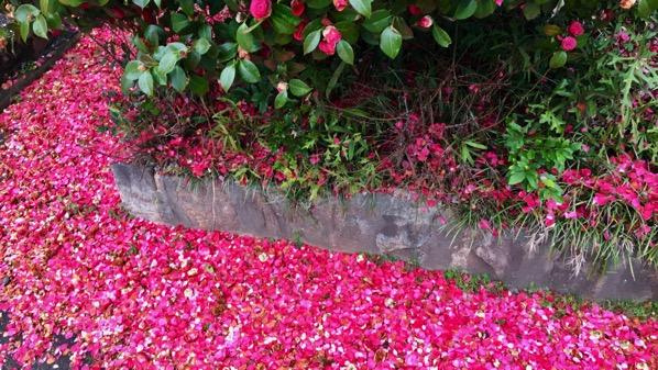 Camellia petals down