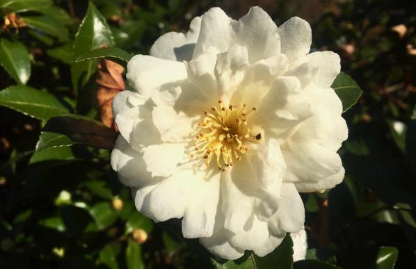 Camellia white
