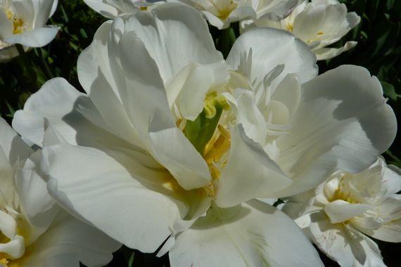 Camellia white ABG 2011 mid mar
