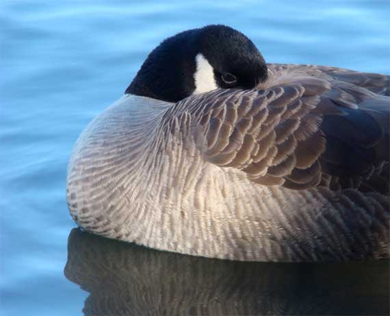 canada_goose_snoozing.jpg