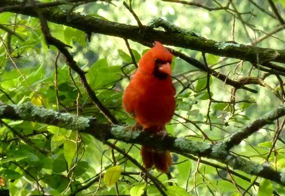 cardinal_posing.jpg