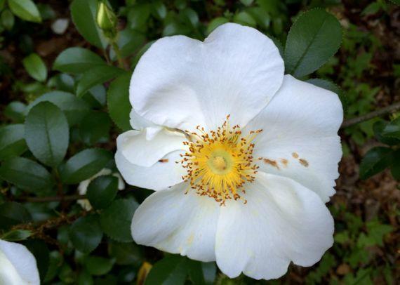 Cherokee rose abloom
