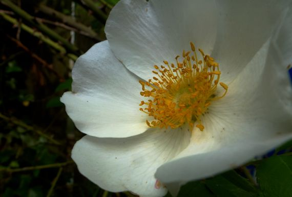 Cherokee rose ablooom