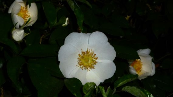 Cherokee rose in white 2011
