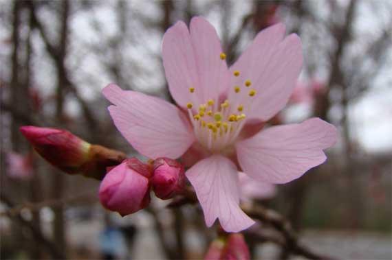 cherry_blossom_n_buds.jpg