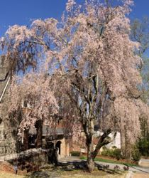 Cherry tree large