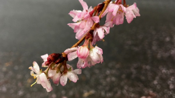 Cherryblossoms maybe