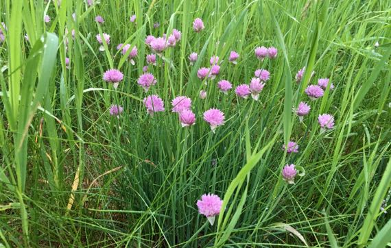 Chives abloom