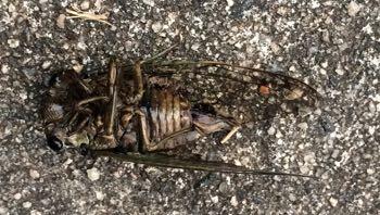 Cicada feet up