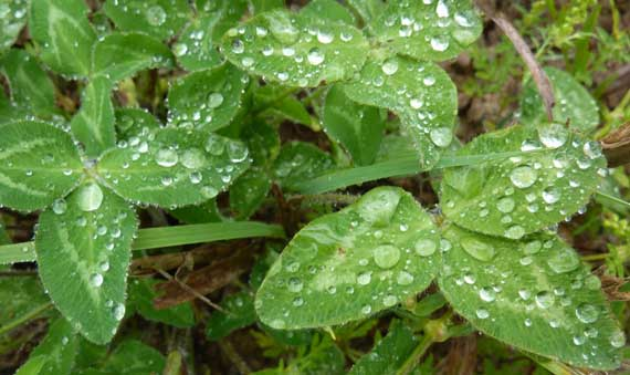 clover_rain_drops.jpg
