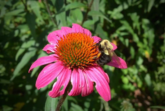 Coneflower bumblebee