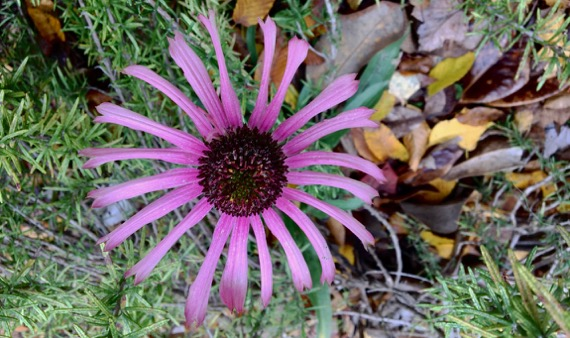Coneflower maybe