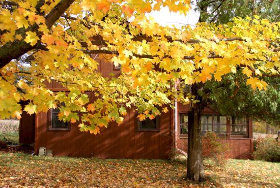 Cottage maple leaves autumn
