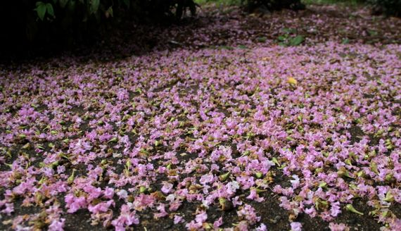 Crape myrtle blossoms on ground