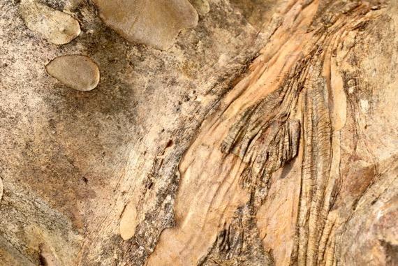 Crepe myrtle bark