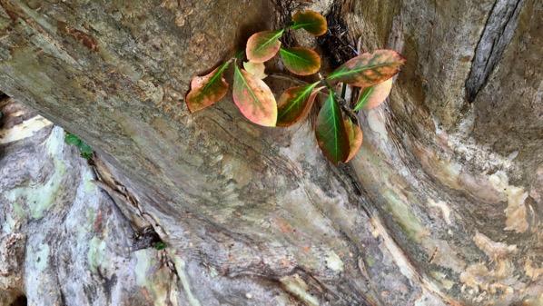 Crepe myrtle trunk