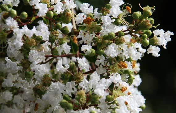 Crepe myrtle white