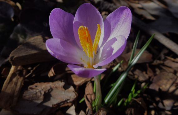 Crocus de bot garden jan