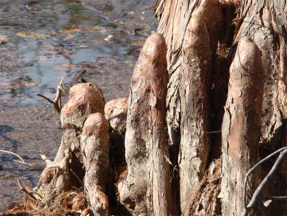 cypress_knees.jpg