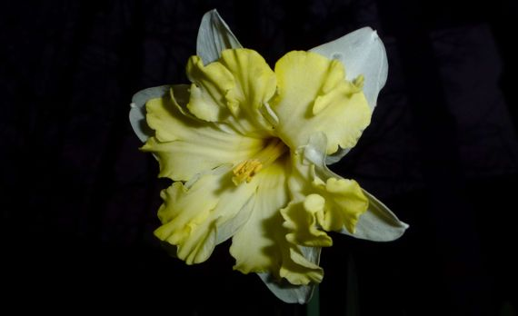 Daffie in dark after freezing
