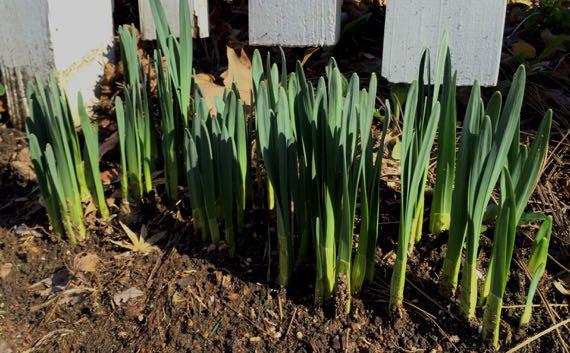 Daffies agrowing