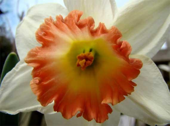 daffodil_peachy.jpg