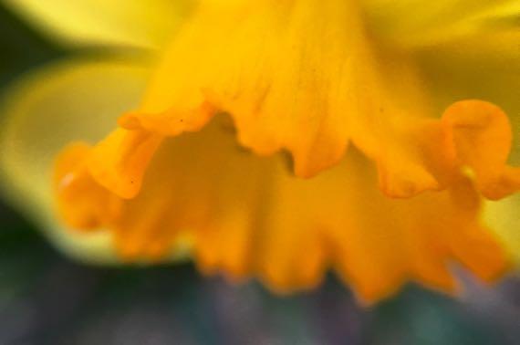 Daffodil CU