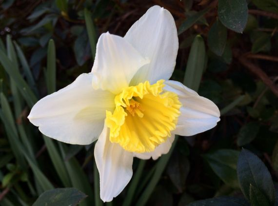 Daffodil front