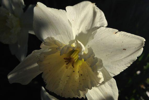 Daffodil whitish backlit