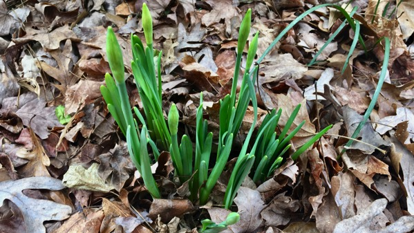Daffodils to come