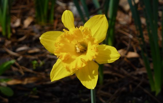 Daffy with malformed petal