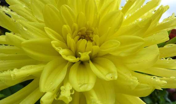 dahlia_yellow_C_ATL.jpg