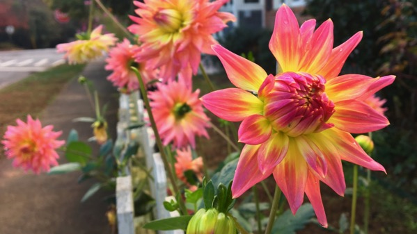 Dahlias on fence