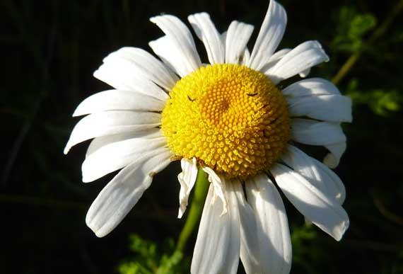 daisy_daylight.jpg