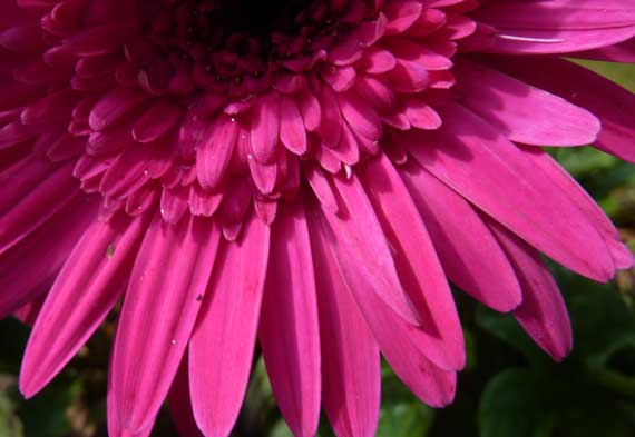 daisy_fuschia_in_autumn.jpg